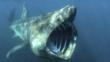 Basking shark with  mouth wide open off of English coast