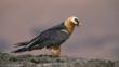 Bearded vulture standing on a rock