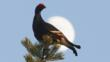 A male black grouse perched on top of a conifer