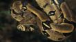 Boa constrictor suspended from a tree
