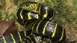 Mangrove cat snake in threat posture