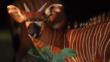 Profile of a bongo antelope