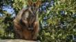 Brush-tailed rock wallaby sitting on a rock