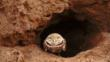 A burrowing owl peers out from its burrow