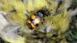 A sexton beetle on a dead greenfinch