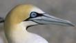 Close-up profile of cape gannet&#039;s head