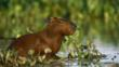 Capybara sitting in wetlands