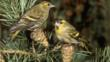 A pair of siskins perching on pine cones