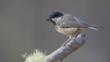 Coal tit perched on a branch (c) Tim Stenton