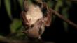 Common blossom bat hanging upside down