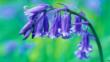 Close-up of bluebell flower