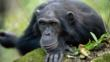 Male chimpanzee looking forwards