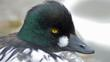 Portrait of a goldeneye (c) Justin Burt