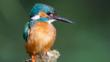 Kingfisher in mid-flight carrying a fish in its beak