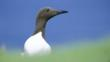 Portrait of a common guillemot