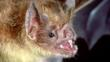 Close-up of a vampire bat showing teeth