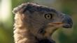 Close-up portrait of a crowned eagle head