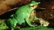 Darwin&#039;s frog with its young
