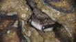 Daubenton&#039;s bat hibernating in a sandstone cave