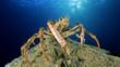A spider crab stands on top of a reef