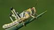 A subadult desert locust perched on a plant spine