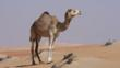 Dromedary camel in sandy desert