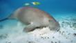 Dugong grazing on sea grass