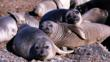 A group of earless seals on the shore