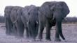 Herd of elephants walking in single file