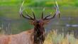 Elk bull roaring