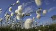 Cotton grass blowing in wind against blue sky