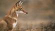 Profile of a sitting simien jackal