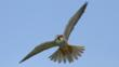 Close-up of a hobby in flight