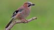 A Eurasian jay in flight