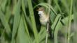 Reed warbler perched on reed stem singing