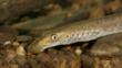A brook lamprey
