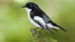 A male pied flycatcher perched on a branch