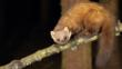 Pine marten on a branch