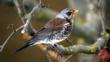 Fieldfare on branch