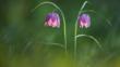 Snake's head fritillary flowers