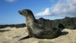A female Galpagos fur seal on a rock