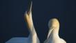 Northern gannet courtship display