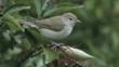 Garden warbler on elderberry tree