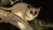 Grey mouse lemur on branch in spiny forest at night