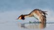 Male great crested grebe with an erect crest