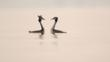 Courting pair of great crested grebes on a lake