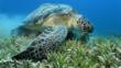 Green sea turtle feeding on sea weed in a meadow