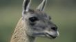 Guanaco llama portrait