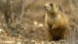 Gunnison&#039;s prairie dog