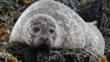 A common seal (c) Christine Hall